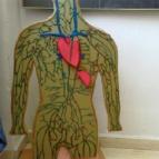 Human systemic circulation